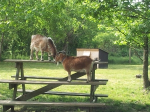 Goats frolic on a picnic table at Adkins Arboretum.