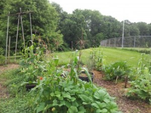 Companion plants:  squash, beans and corn